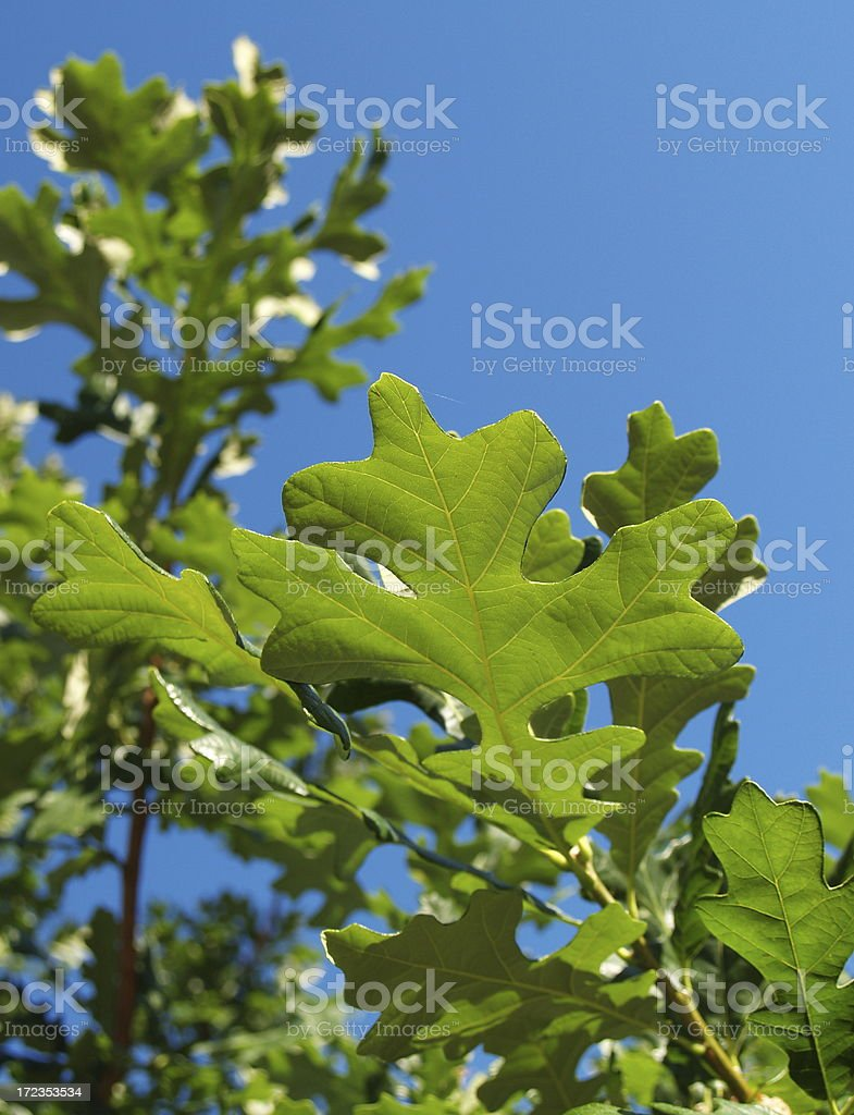 Oak Leaf Spring royalty-free stock photo