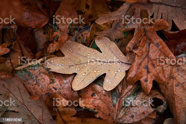 Photo of oak leaf with dew drops on the autumn foliage background