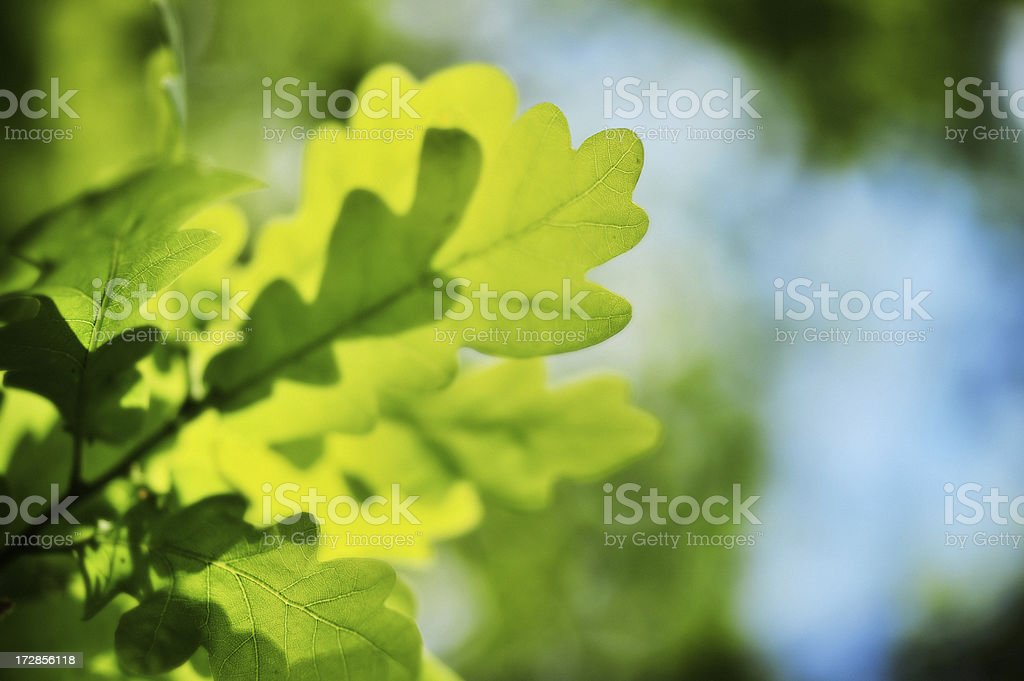 Oak leafs stock photo