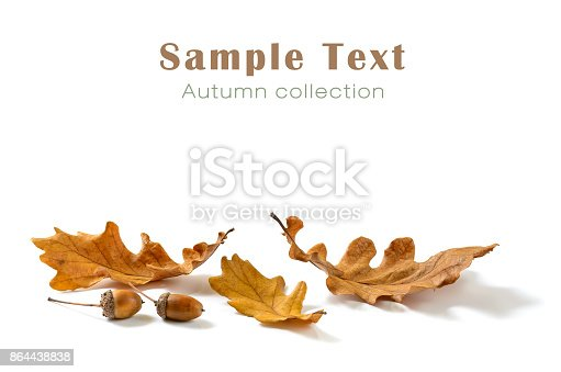 Autumn oak leaves and acorns isolated on white background