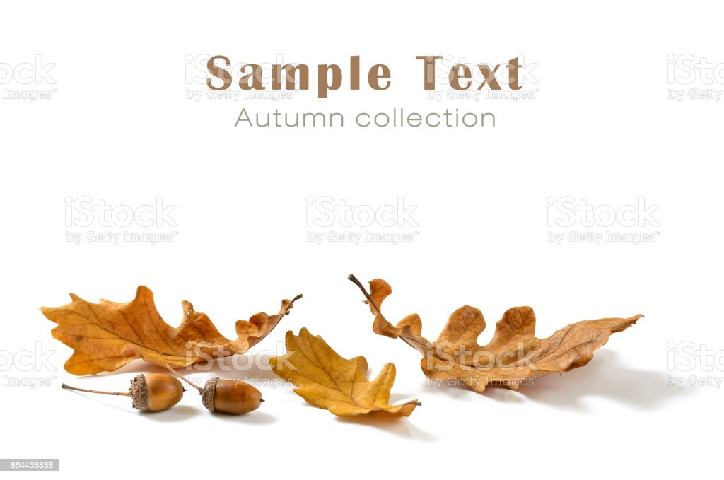 Oak leaves and acorns isolated on white background stock photo
