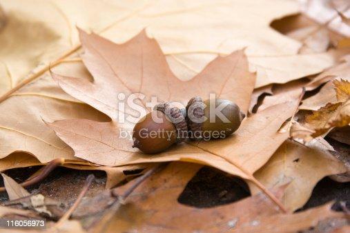 istock oak leaves and acorns 116056973
