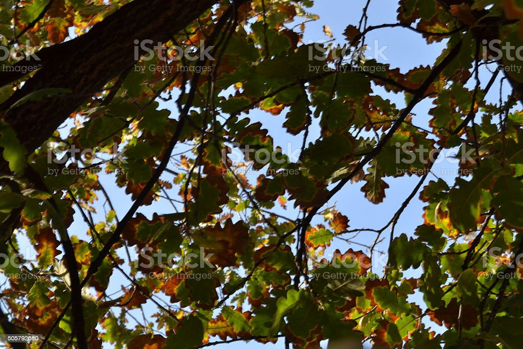 oak leaves and sky stock photo