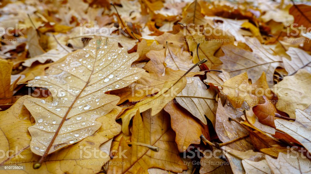 Oak leaves in autumn colors fallen to the ground stock photo
