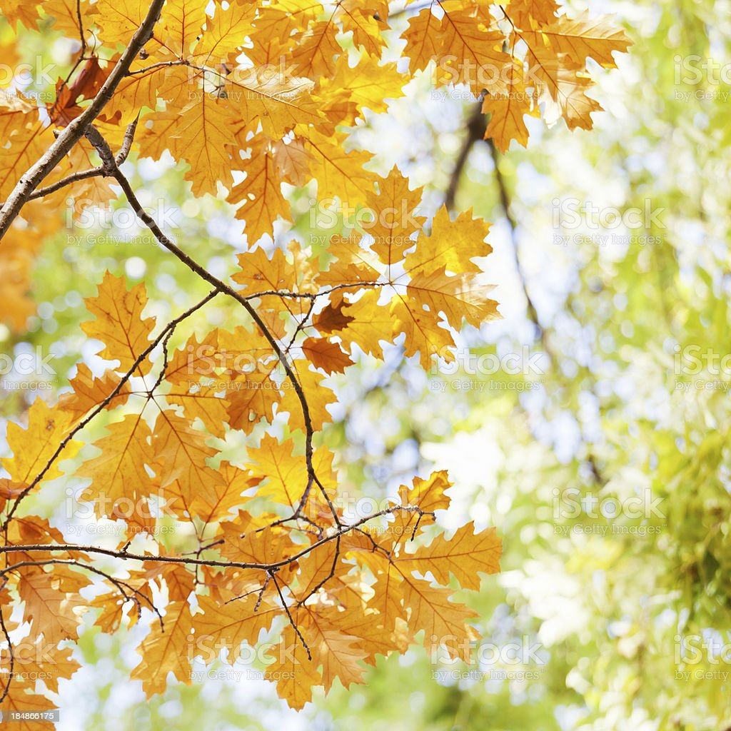 Oak Leaves in Autumn royalty-free stock photo