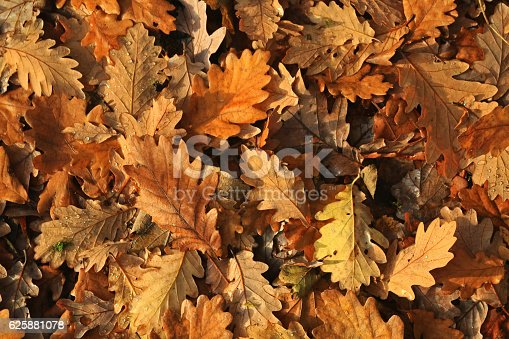 istock Oak leaves in autumn 625881078