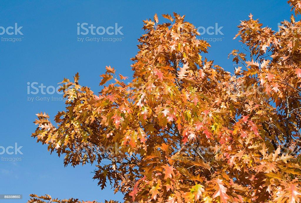 Oak leaves in Autumn royalty free stockfoto
