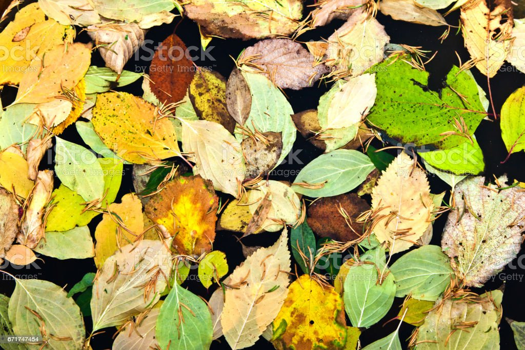 oak leaves in harmony stock photo