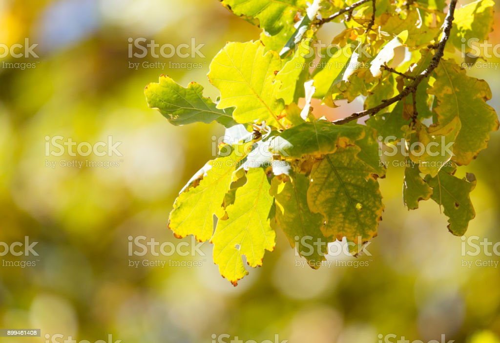 oak leaves in nature stock photo