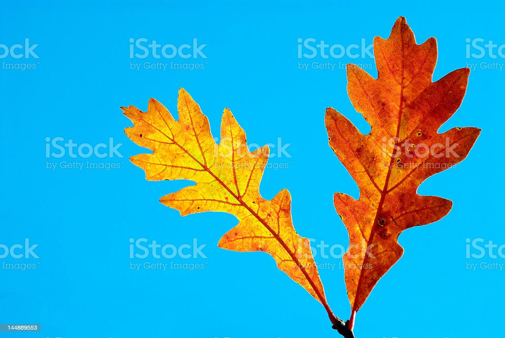 Oak leaves in the fall royalty-free stock photo