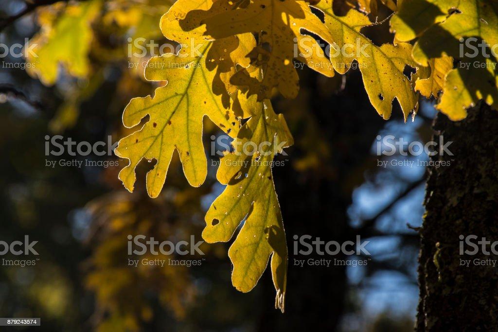 Oak leaves in the forest of La Herreria, San Lorenzo del Escorial stock photo