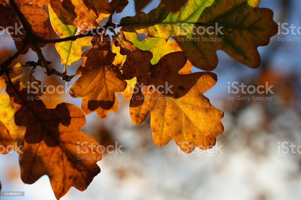 Oak leaves in the sunlight royalty-free stock photo
