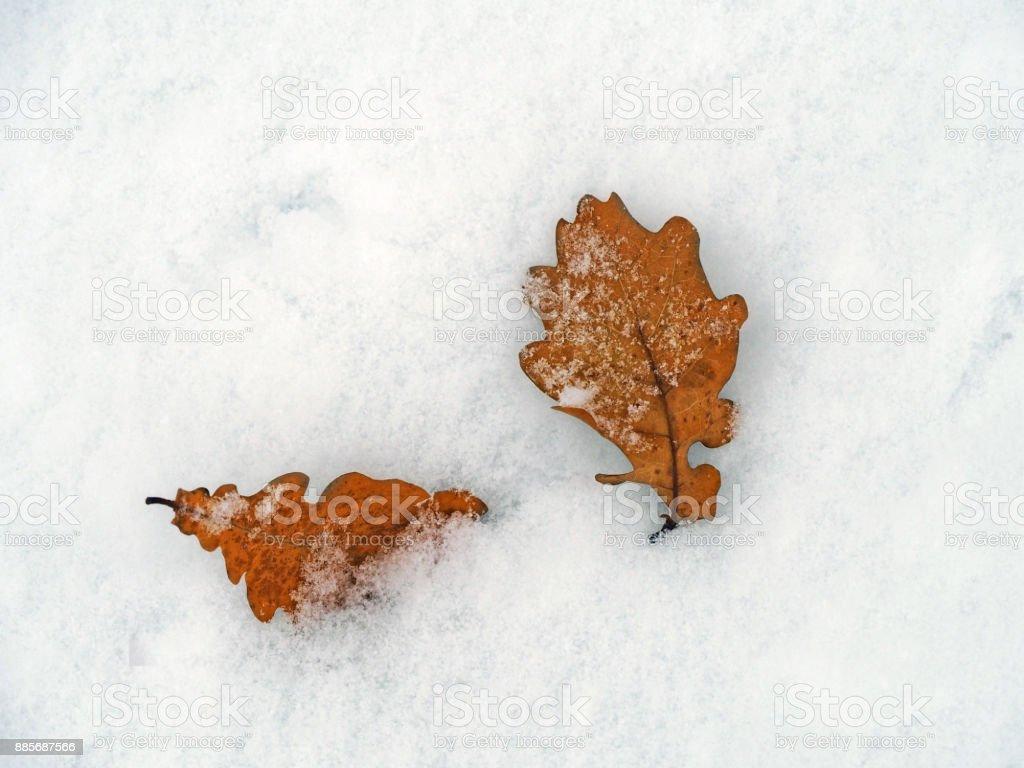 oak leaves in the snow