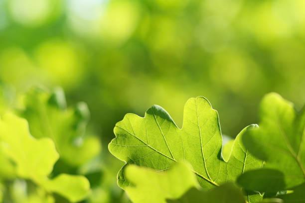 eichenlaub am grünen natürlichen hintergrund - eichenblatt stock-fotos und bilder