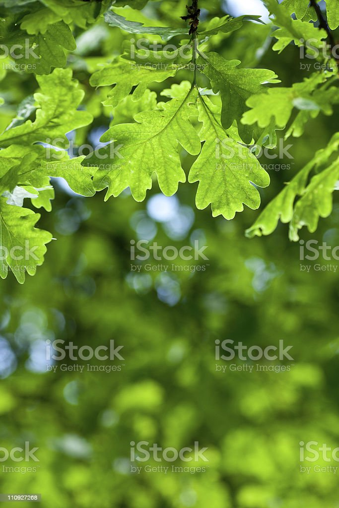 Oak leaves royalty-free stock photo