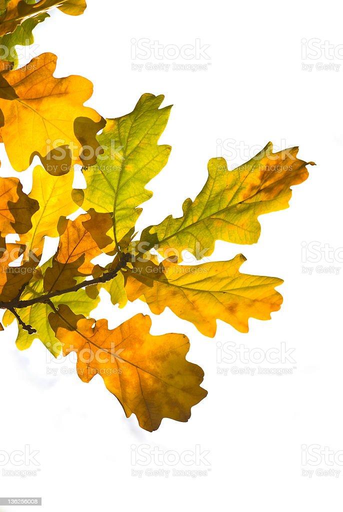 Oak  leaves royalty-free stock photo