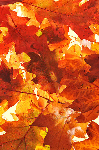 oak leaves original autumn oak leaves in different shades of brown and red anhydrous stock pictures, royalty-free photos & images