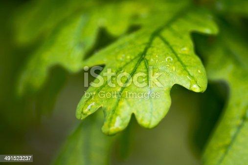 Green wet oak leaves