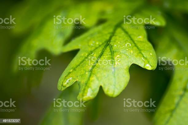 Photo of Oak leaves