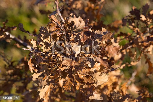 A close up of dried brown leaves on an young oak tree at the end of autumn