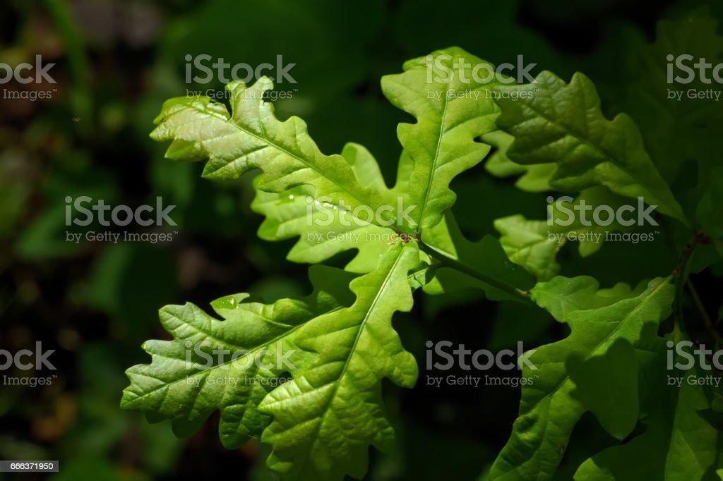 Oak leaves. Spring. stock photo