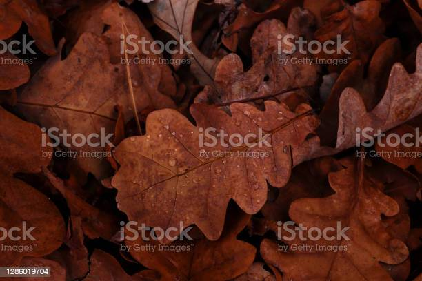 Photo of Oak leaves with water drops. Late autumn concept. Natural background of the fallen oak leaves. Autumn mood. Flat lay, selective focus