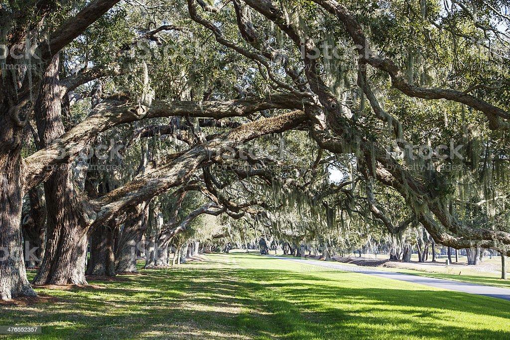 Oak Limbs over Green Grassy Lane royalty-free stock photo