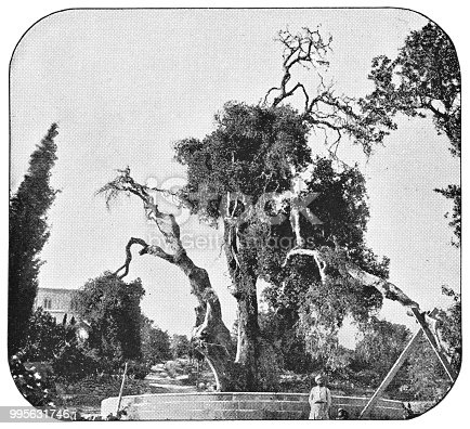 Oak of Mamre in Hebron, Israel. Vintage halftone etching circa late 19th century. Hebron is located in modern day Palestine, West Bank.