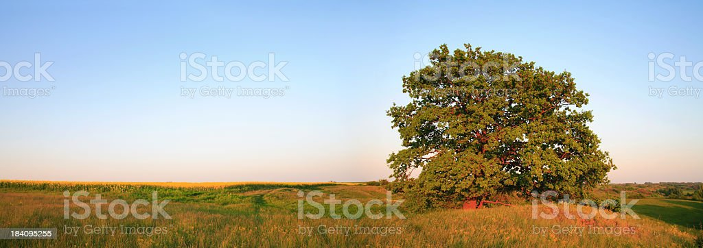 Oak Panorama - Late Afternoon royalty-free stock photo