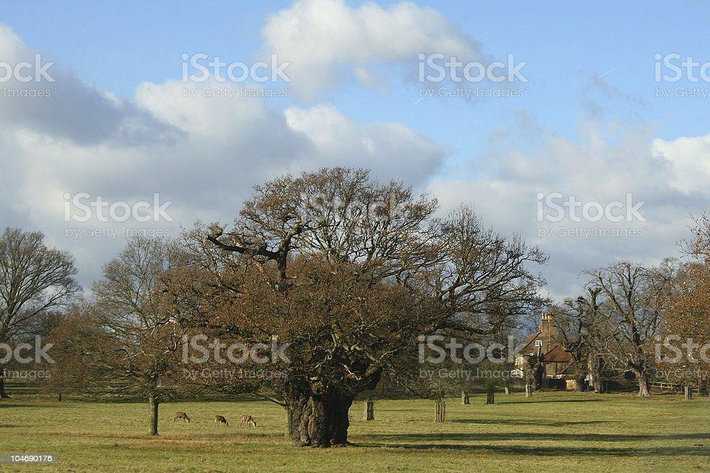 Oak – Foto