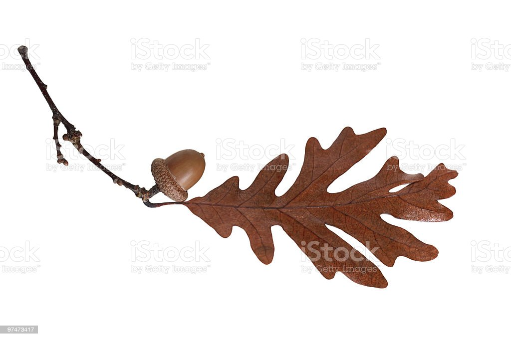 Oak royalty-free stock photo
