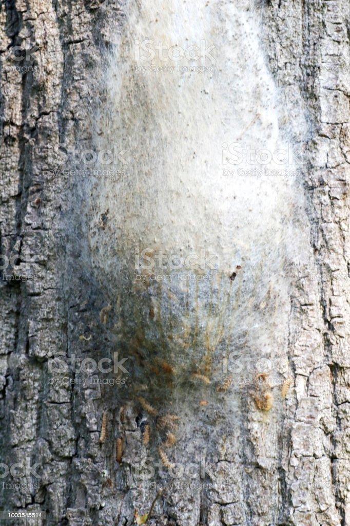Eiken Processionary (Thaumetopoea processionea) rupsen Nest foto