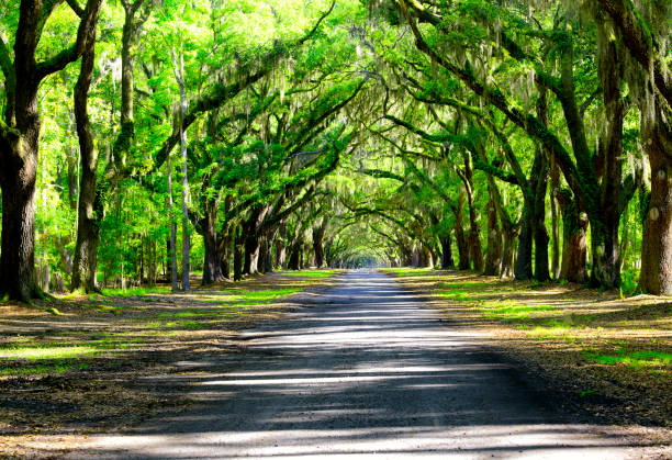 Oak road in plantation Oak road in plantation south carolina stock pictures, royalty-free photos & images