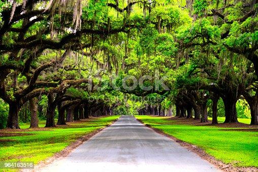 Oak road in plantation