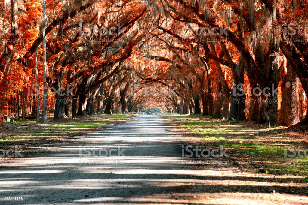 Oak road in the forest royalty-free stock photo