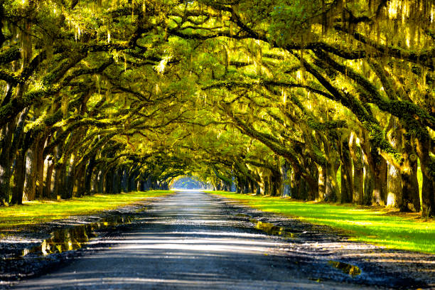 Oak road Oak tree in Georgia south carolina stock pictures, royalty-free photos & images