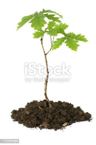 oak sapling on white background