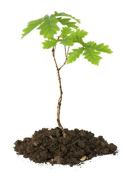 oak sapling oak sapling on white background sapling stock pictures, royalty-free photos & images