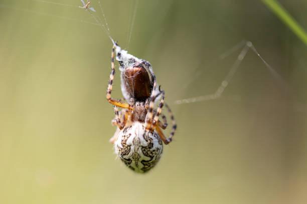 Oak spider female - Aculepeira ceropegia – Foto