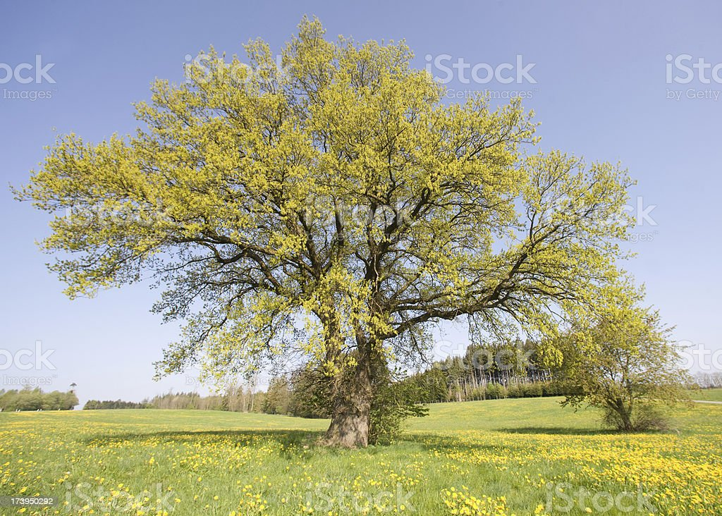 oak spring royalty-free stock photo