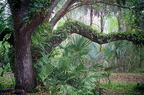 chêne et palmiers dans la forêt tropicale - arbre à feuilles caduques photos et images de collection