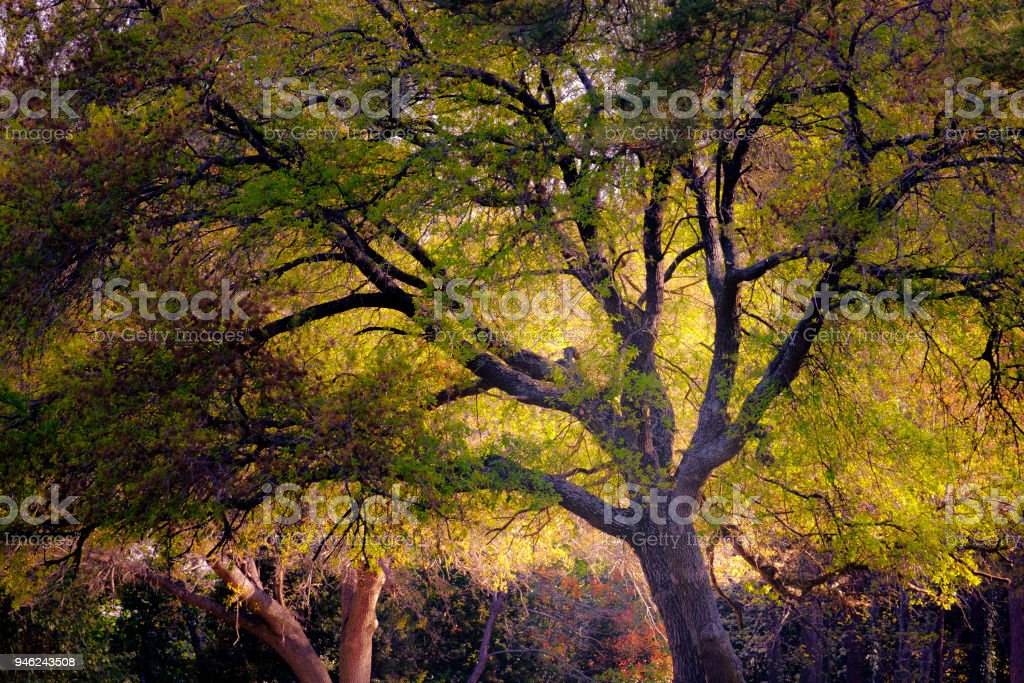 Oak tree at dawn stock photo