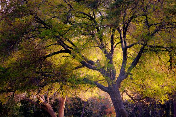 Oak tree at dawn stock photo