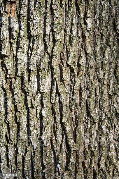 Photo of Oak tree bark