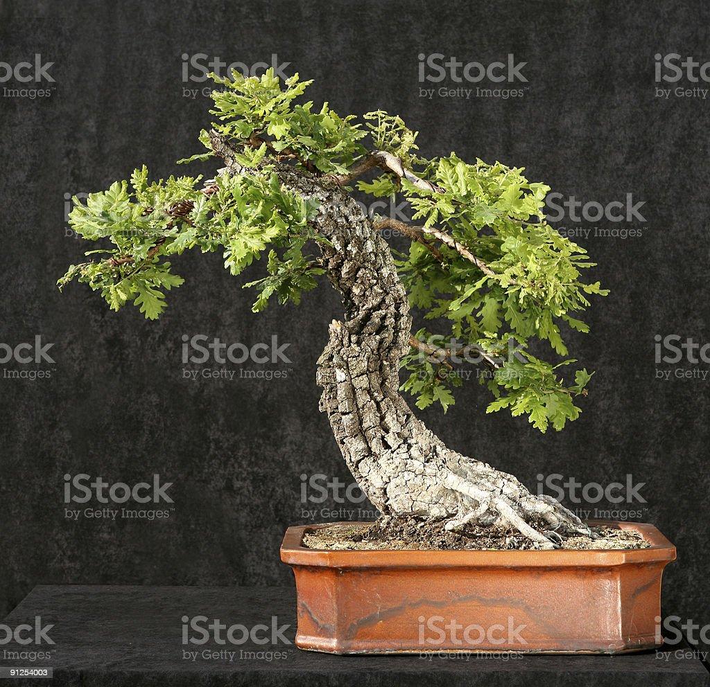 Oak Tree Bonsai Stock Photo Download Image Now Istock