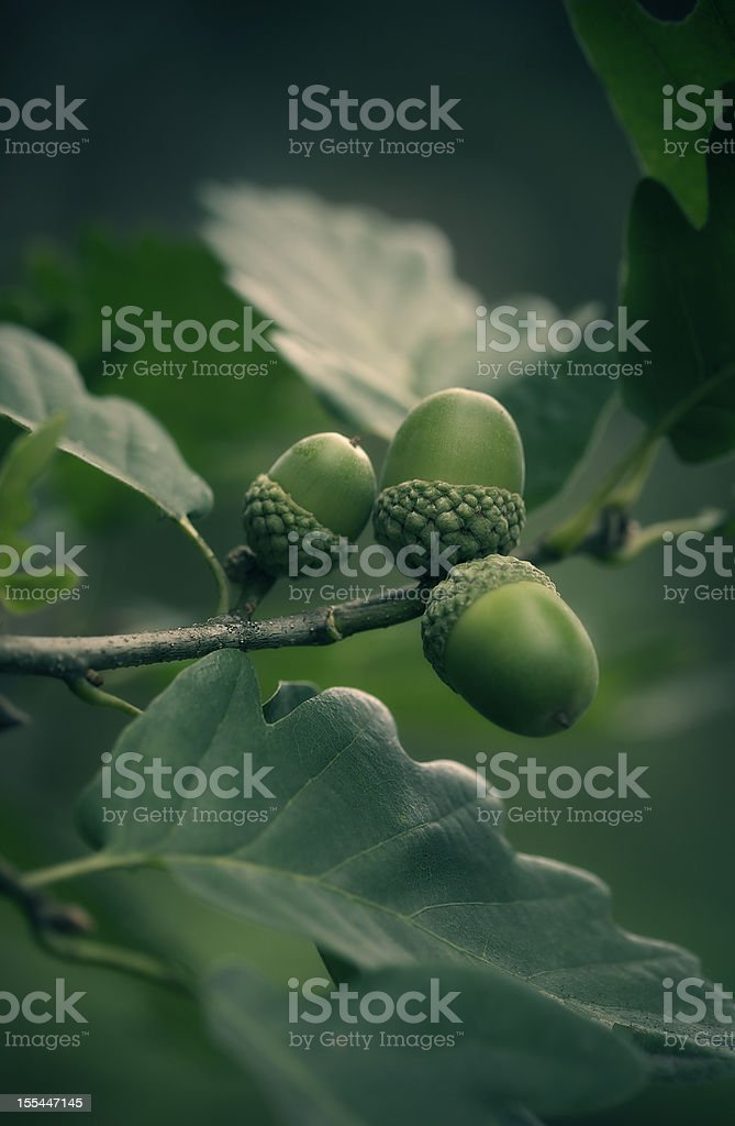 oak tree branch with acorns stock photo