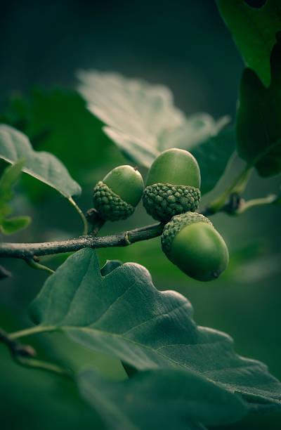 oak tree branch with acorns stock photo