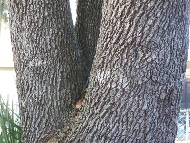 Oak tree eyes stock photo