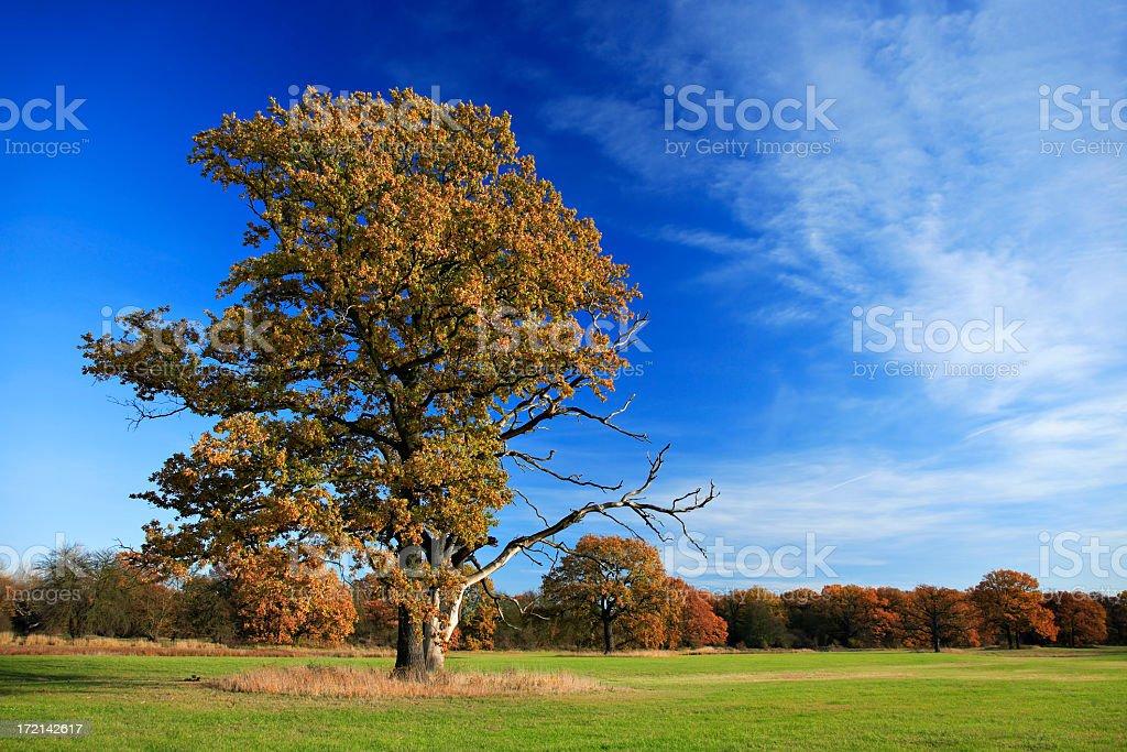 Oak Tree in Autumn royalty-free stock photo