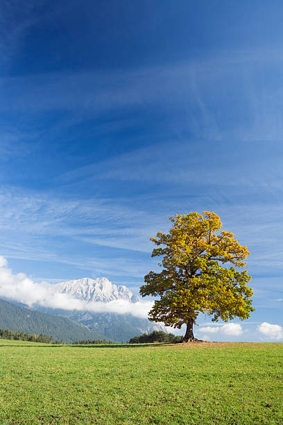 oak tree in autumn stock photo